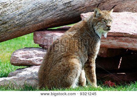 Lynx on the alert