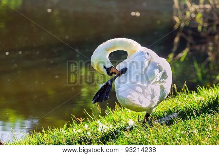mute swan preening on the lakeshore