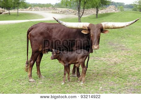 A reddish-brown watusi cow looking at the viewer as she stands with her young calf.
