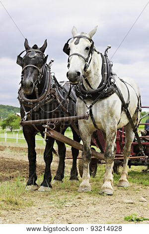Vertical image of a black and a white work horse yoked together and  hitched up to a cultivator.