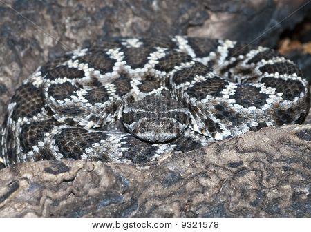 Mohave Rattlesnake Crotalus Scutulatus