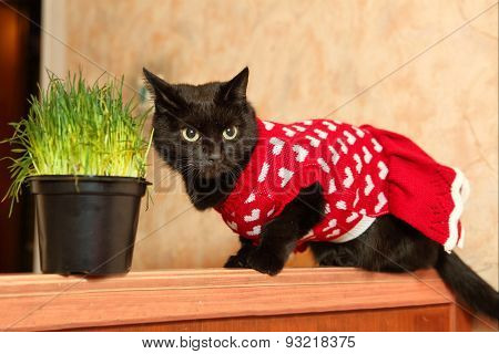 Black Cat In Cute Knitted Red Dress With Grass Pot