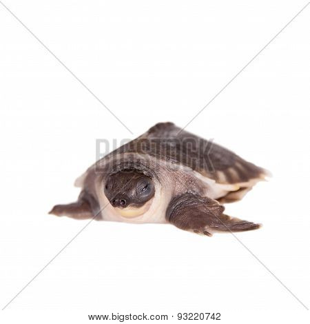The pig-nosed turtle on white