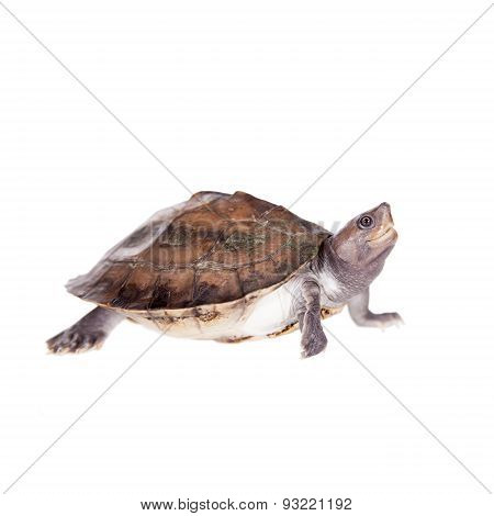 Painted river terrapin on white background.