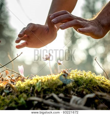 Conceptual Image Of Male Hands Making A Protective Gesture Over A Small Spring Flowers