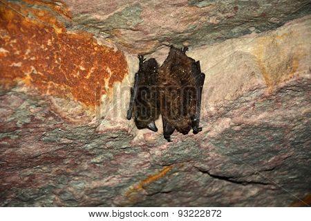 Sleeping Bats On The Cave Wall. Wildlife Scene