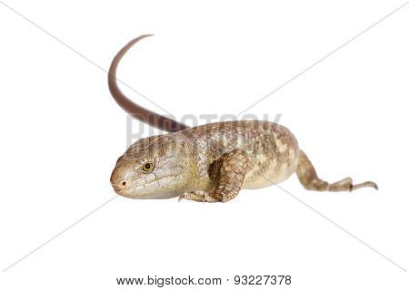 The Solomon Islands skink on white
