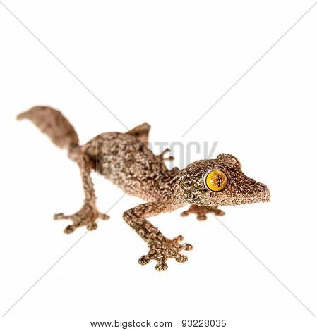 Leaf-tailed Gecko, uroplatus sameiti on white