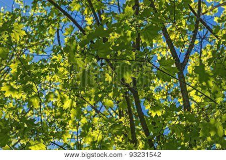 Maple Leaves Sunlight