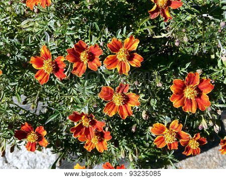 The sunny flowers