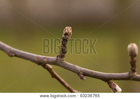 Buds On Apple Tree.