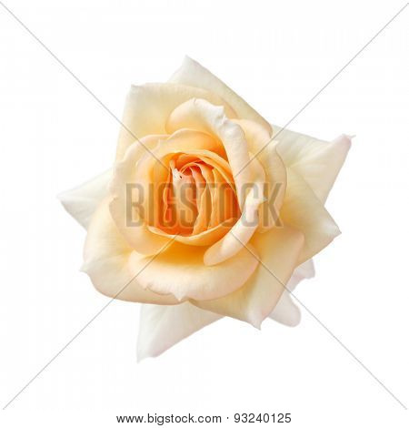 apricot color rose isolated on white background