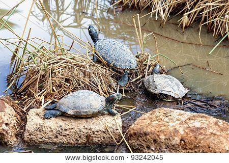 Turtles Or Tortoises On Swamp