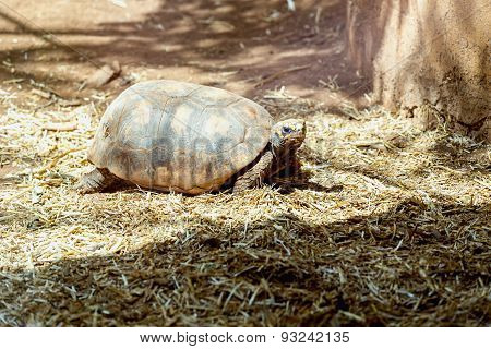 Turtle Or Tortoise On Ground With Straw