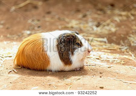 Guinea Pig On The Ground