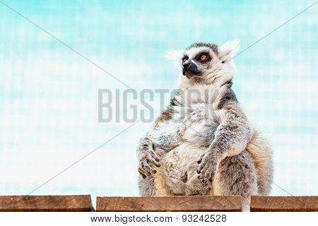 Fatty Funny Lemur
