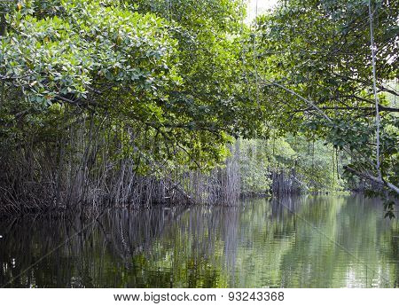 Tropical thickets mangrove forest on the Black river. Jamaica