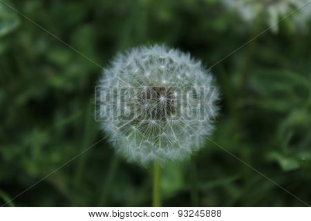 white dandelion in the forest