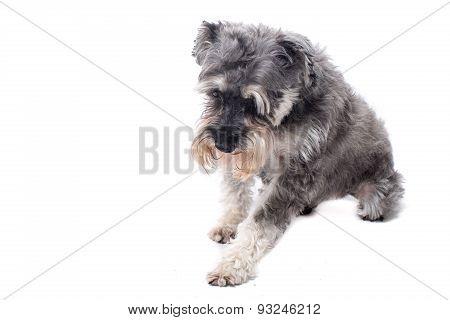 Grey Miniature Schnauzer Terrier In Studio