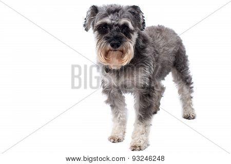 Miniature Schnauzer Terrier Standing In Studio