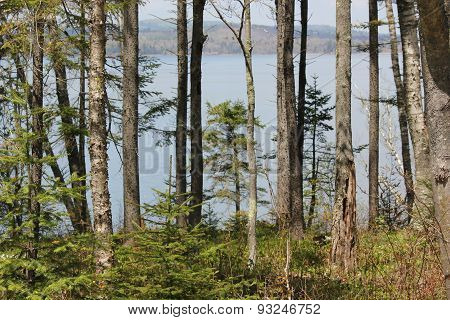 Birch Trees and tidal basin of the Penobscot River near Fort Point Lighthouse in Maine