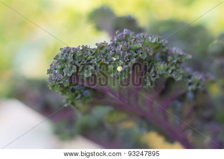 Purple Kale Growing in Community Garden