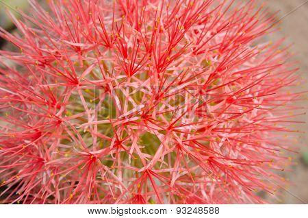 Blood Flower , Powder Puff Lily