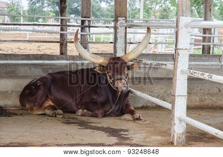 Watusi Big Cow Mammal