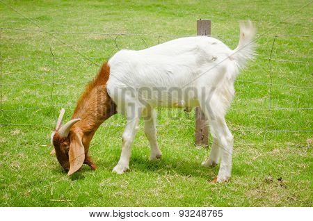 Goat Grazing At The Farm Yard