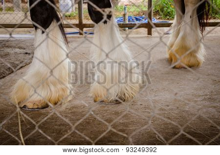 Clydesdale Legs Detail