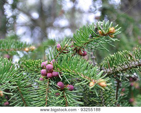 Pink baby fir cones