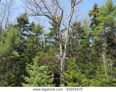 Spring Time Tree Growth in Southern Maine