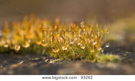 Water Drops On Moss