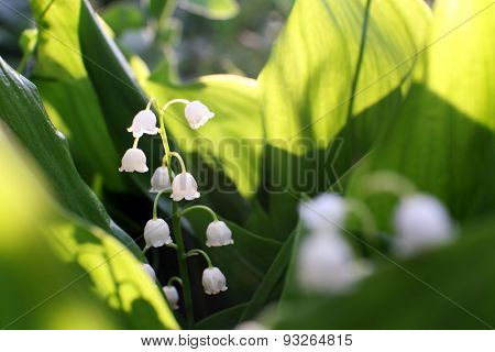 Beautiful lilies of valley outdoors