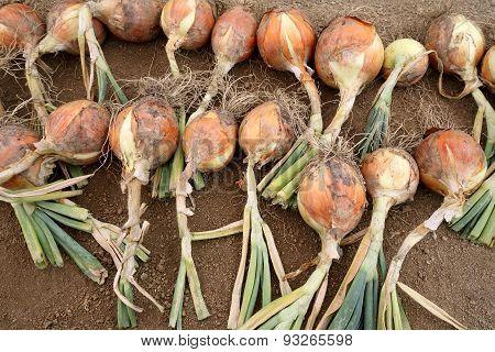 Ripe harvested onion