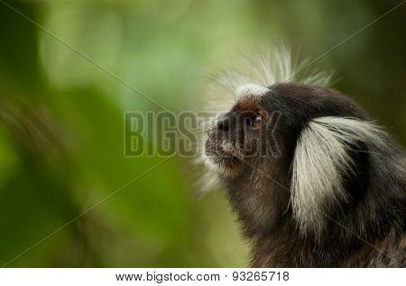 Callithrix Jacchus marmoset