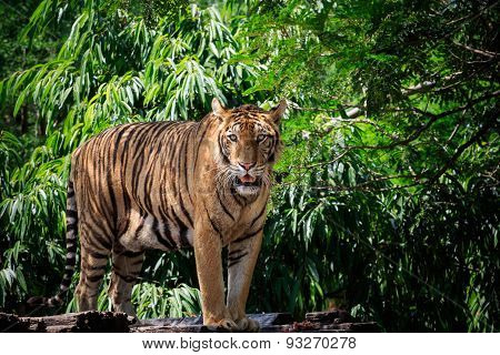 Face And Full Body Of Bengal Tiger Approach In Wild