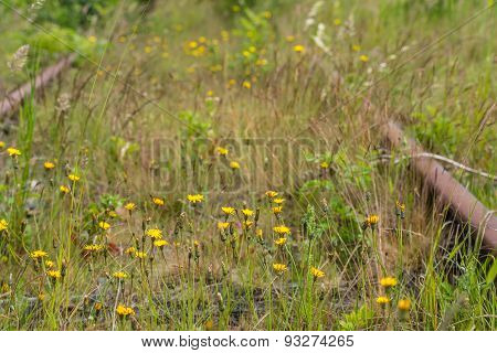 Dandelions Blooming Between Rusty Railroad
