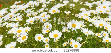 Blooming Ox-eye Daisies Waving In The Wind