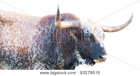Wild Longhorn Bull Close Up on White Background