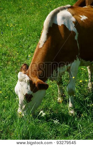 Close Up Of A Dairy Cow On The Summer Pasture