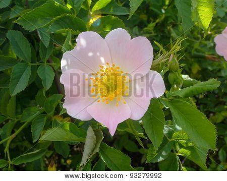 Briar Flower Close-up