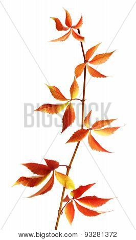 Autumn Branch Of Grapes Leaves