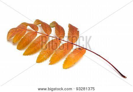 Autumn Rowan Leaf On White Background