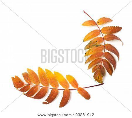 Autumnal Rowan Leaf Isolated On White Background