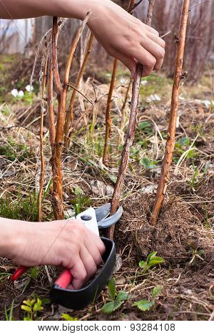 Hands Pruning Raspberry With Secateurs