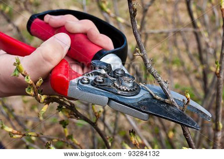 Pruning Black Current With Secateurs