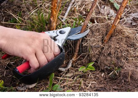 Pruning Raspberry With Secateurs