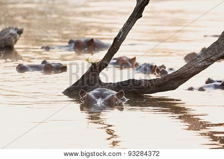 Hippos Swimming In A Pond At Sunset At Sunrise On Cold Morning