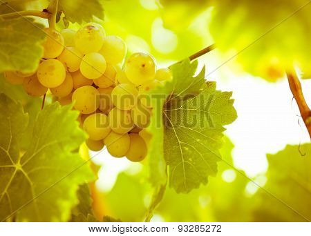 Riesling - green, white grape